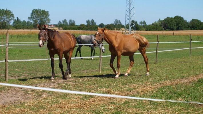 Tres heste på fold