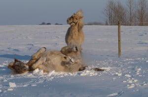To heste der leger i sneen