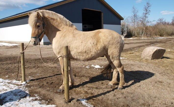 Hest med vinterpels