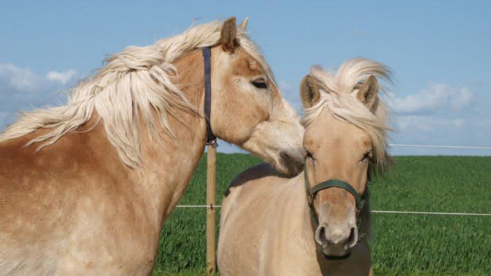 To heste der nusser hinanden