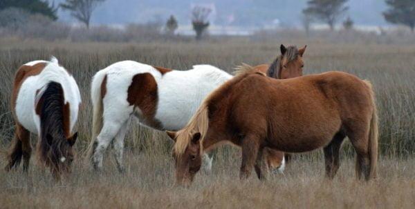 Heste der græsser i naturen
