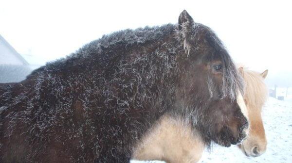 sort hest med rim på vinterpelsen
