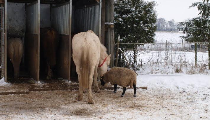 hest og får der spiser side om side