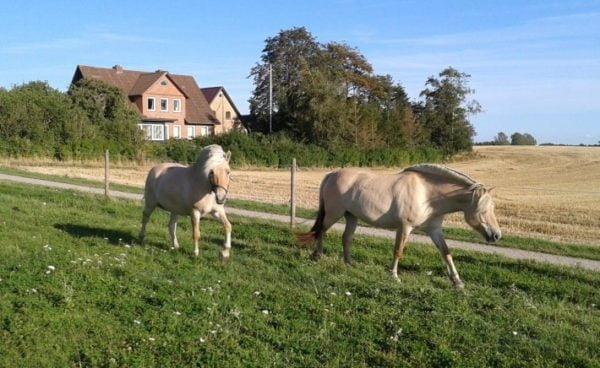 To heste, hvor den ene går med grime mens den anden går uden