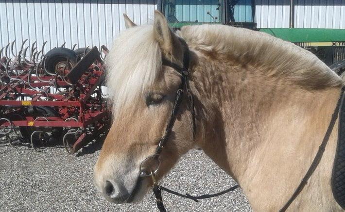 Hest uden næsebånd