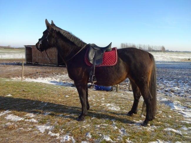 Hest i frostvejr der poserer med blå himmel i baggrunden