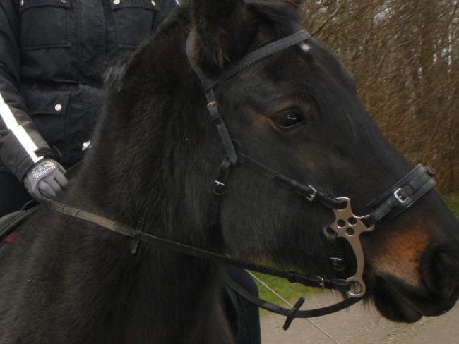 Hest med hackamore på