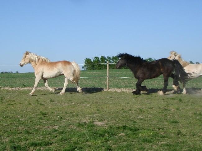 heste der bevæger sig på folden