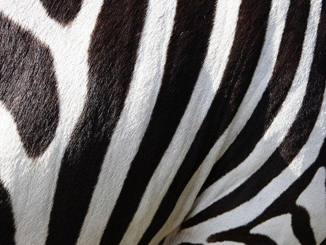 Zebrastriber som kan hjælpe mod insekter