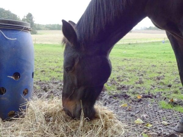 Hest der spiser grovfoder i form af hø