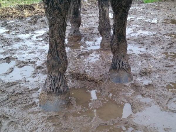 Mudderblues - Hesteben og hove i mudder