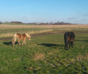 To heste der græsser på midterstykket i en vandrefold om vinteren