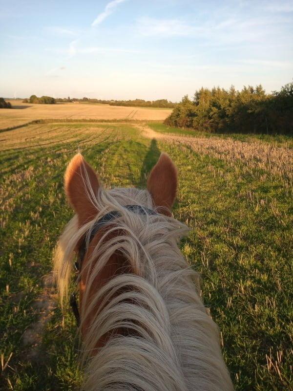 Hest på stubmark set fra rytteren, der sidder på ryggen