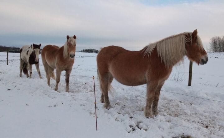 Tre heste i folden, forrest Kornela, så Stardust og bagerst Felicia