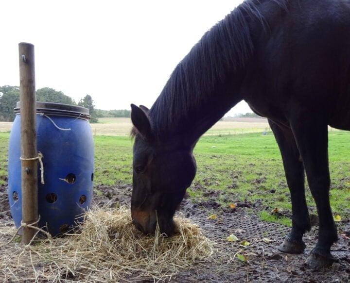 Hest på vandrefold, der spiser af slowfeeder lavet af fodertønde med huller i bunden